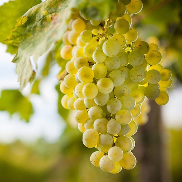 Zibibbo – Italienischer Dessertwein zum Verlieben
