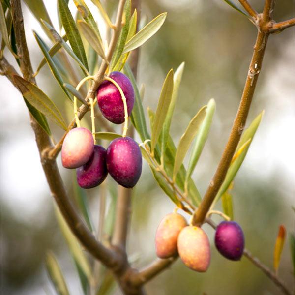 Cornicabra Olivenöl