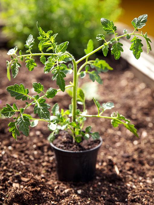 San Marzano anbauen Jungpflanze
